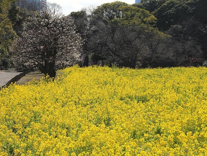 見頃を迎えた菜の花畑と梅の木