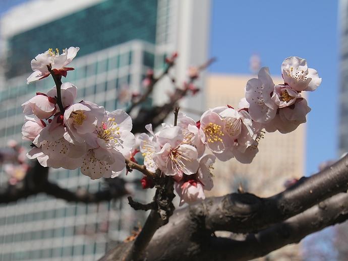 浜離宮 ピンクの梅の花