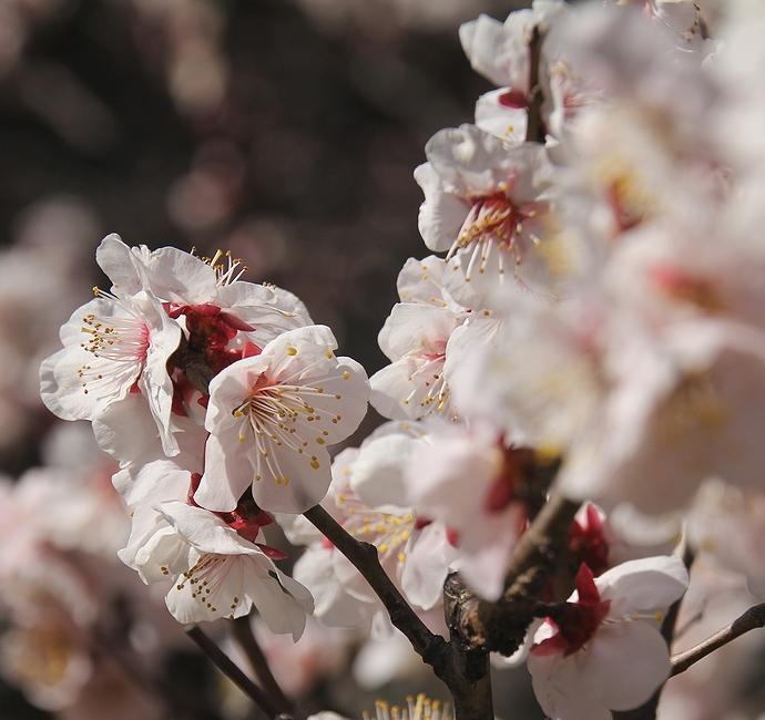 浜離宮のピンクの梅