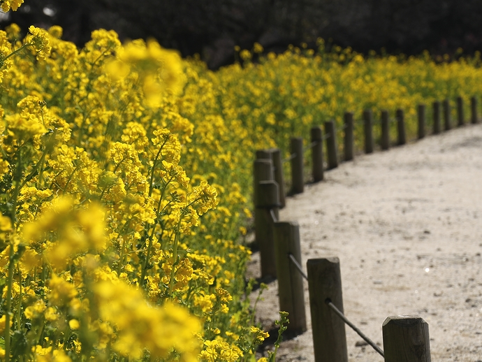 春の日差しを浴びて 浜離宮の菜の花畑