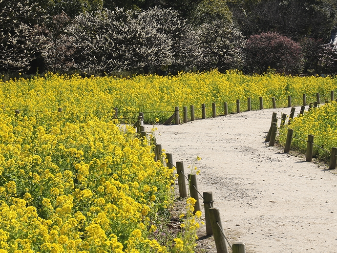 菜の花と梅の花のコラボレーション(浜離宮恩賜庭園)