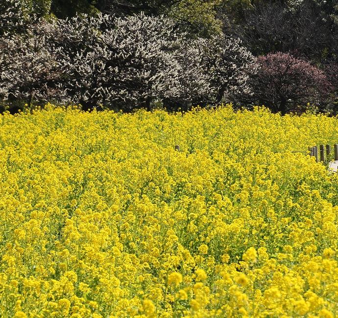 見頃の菜の花と梅の花(浜離宮恩賜庭園)