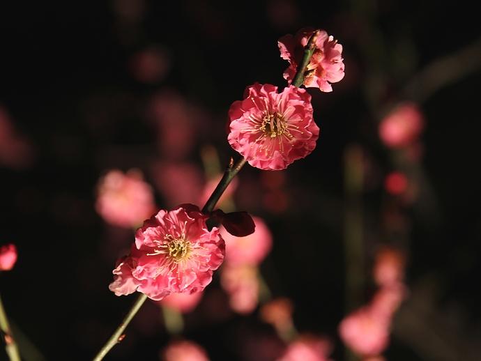 紅梅のライトアップ(兼六園 春の特別開催)