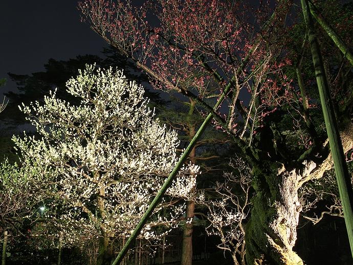 兼六園の梅林のライトアップ