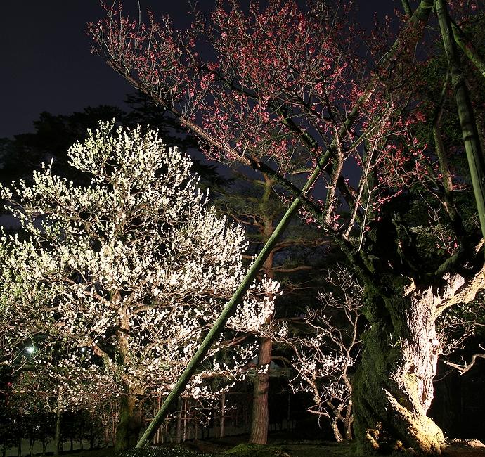 ライトアップされた梅の花 兼六園春のライトアップ(特別開催)