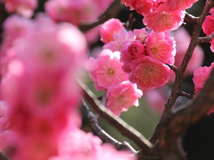 兼六園梅林の紅梅