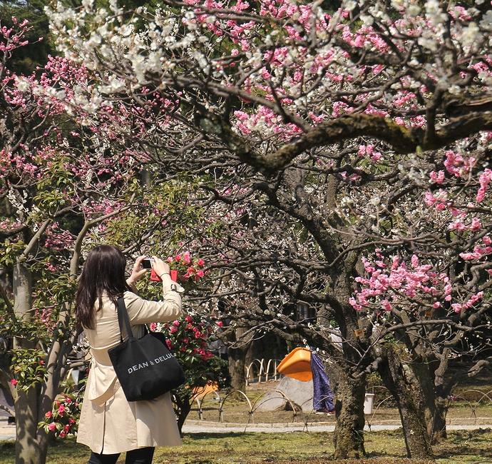 梅を撮る女性(兼六園梅林にて)