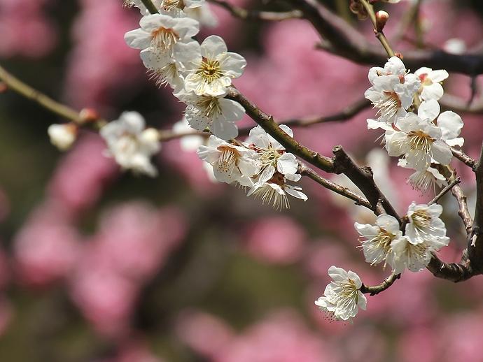 兼六園梅林の白梅