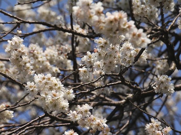 カラミザクラ 兼六園の桜のトップバッター