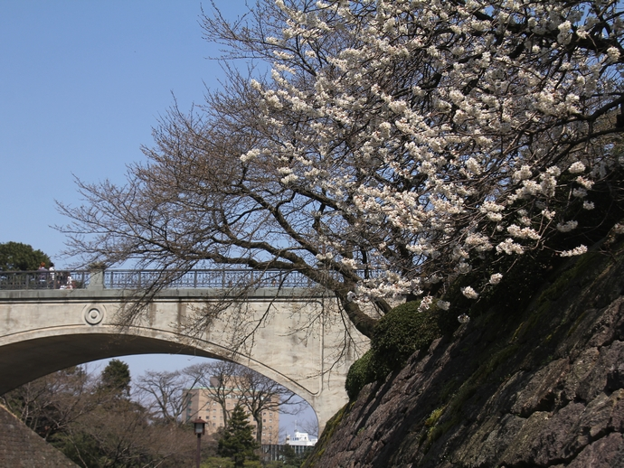 石川橋とカラミザクラ(兼六園)