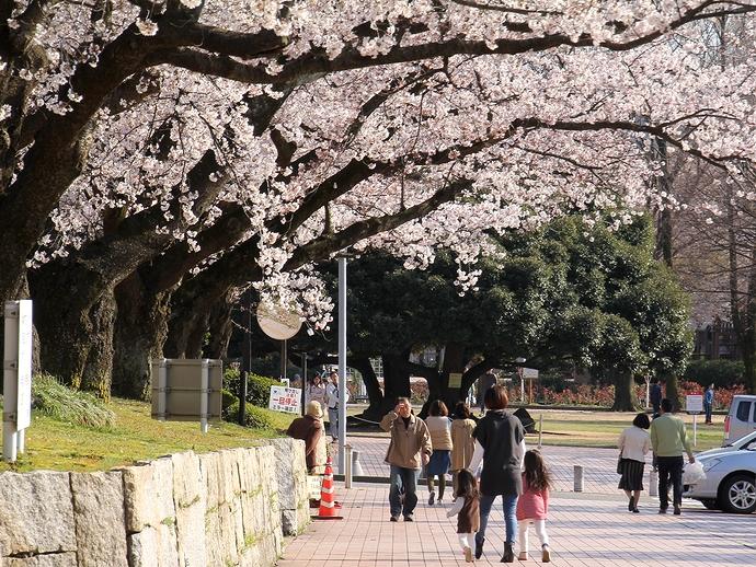 金沢市営陸上競技場の桜景色
