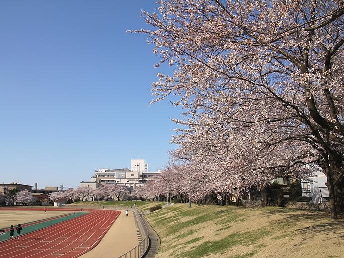 市営陸上競技場 トラックと桜並木