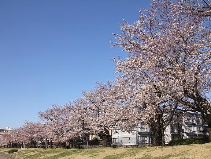 競技場に咲く桜(金沢市)