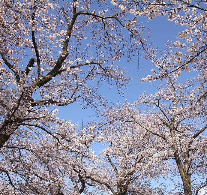 青空に広がる桜