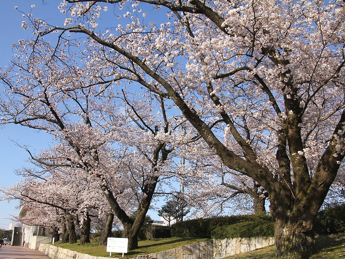 金沢市営陸上競技場の桜風景