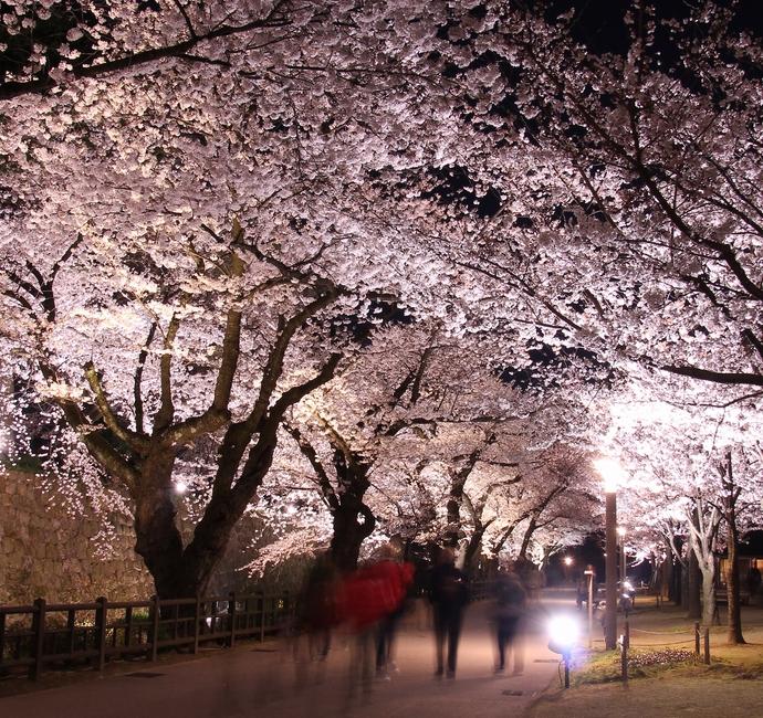 金沢城内の桜並木のライトアップ