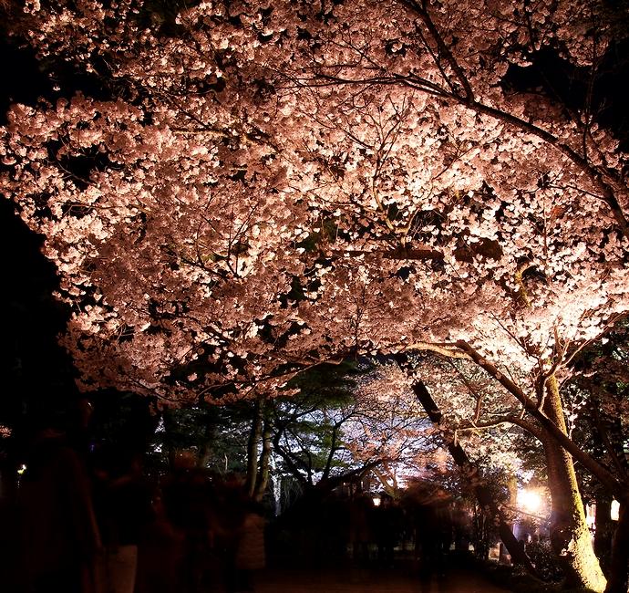 兼六園観桜期ライトアップ ことじ灯籠の横の桜の木