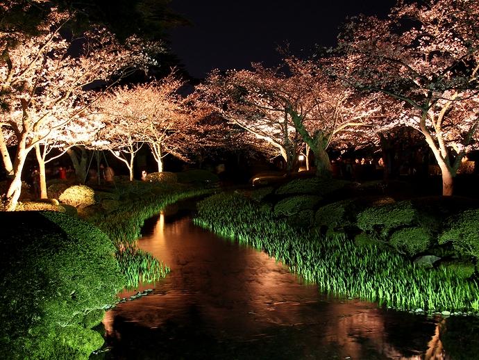 満開の桜が曲水を彩る 兼六園観桜期ライトアップにて
