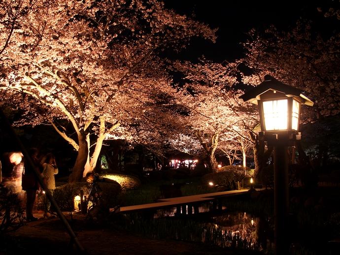 兼六園の桜のライトアップ