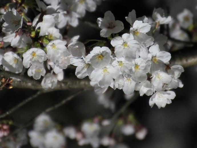 兼六園「桜ヶ岡」の桜ライトアップ