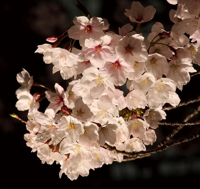 金沢城石川門に咲く桜