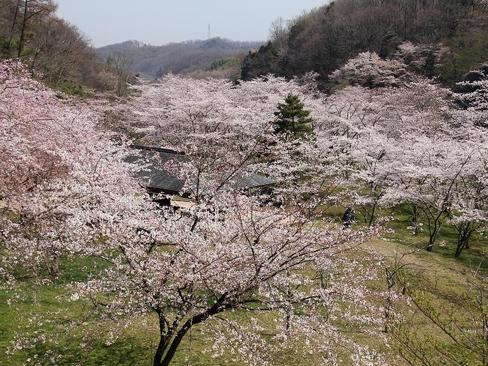 桜色に染まる四百年の森(金沢市卯辰山)