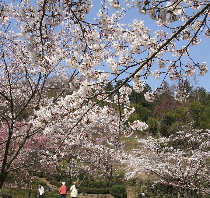 桜咲く四百年の森(金沢市卯辰山公園)