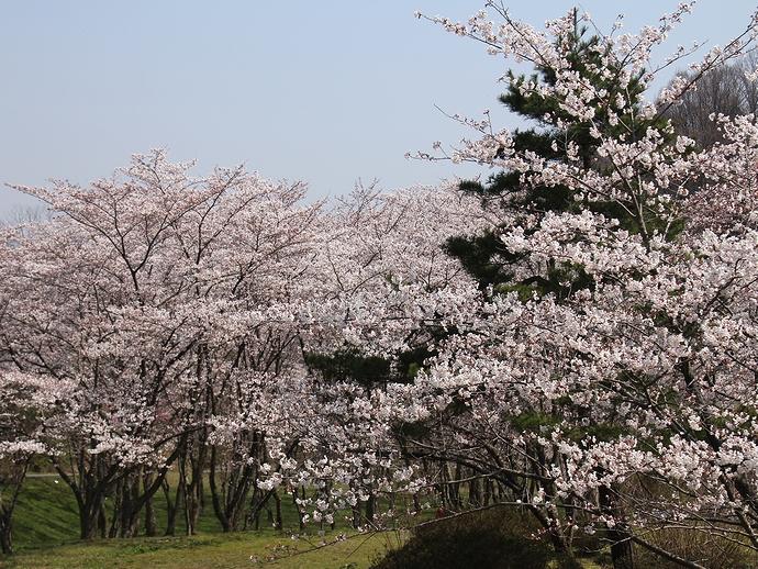 ほぼ満開の「四百年の森」 金沢市卯辰山