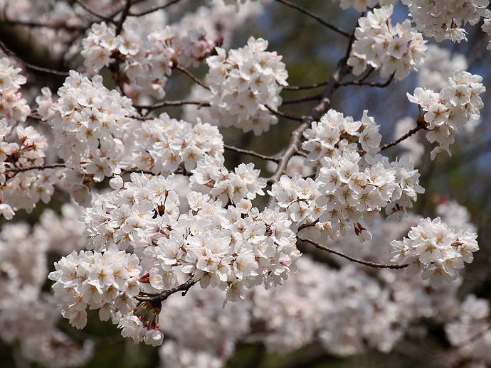 金沢市「四百年の森」 ほぼ満開の桜