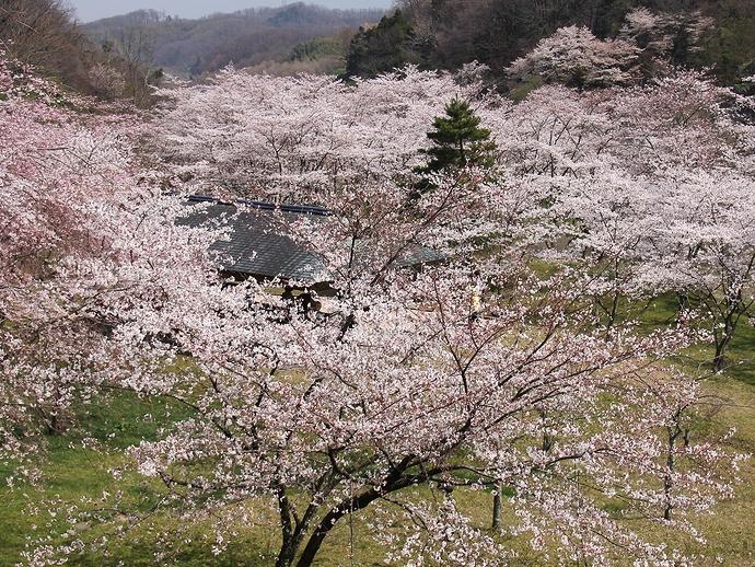 卯辰山「四百年の森」の桜