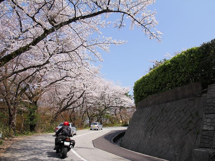 卯辰山公園線の桜
