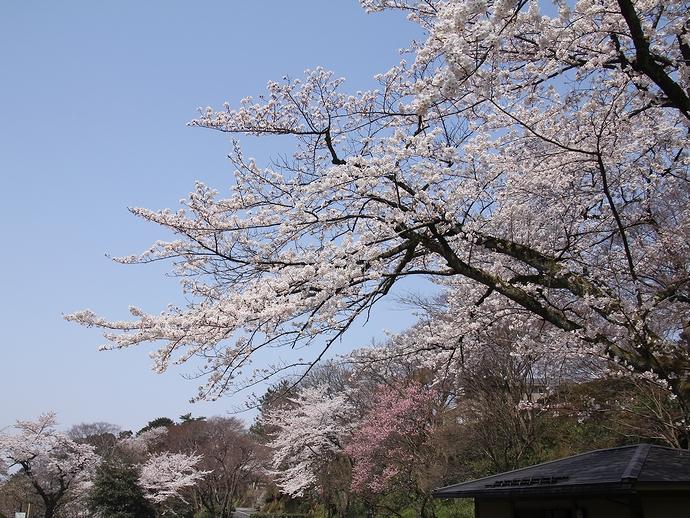 卯辰山公園花菖蒲園の桜