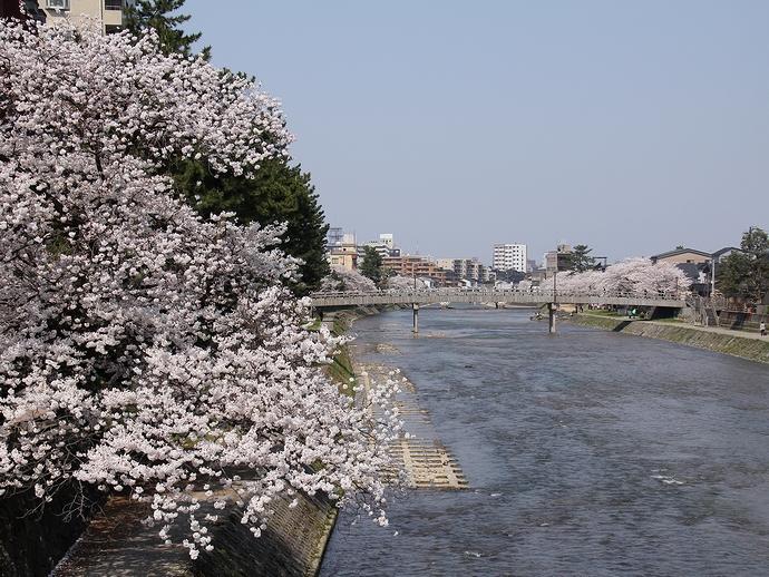 金沢の桜風景 浅野川と桜