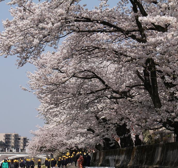 金沢・浅野川 満開の桜並木