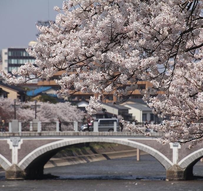 桜と浅野川大橋(金沢市浅野川)