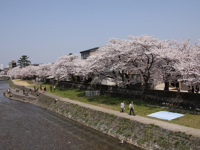 金沢 浅野川の桜並木