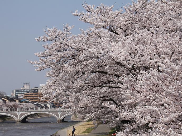 金沢の桜風景 桜と浅野川大橋