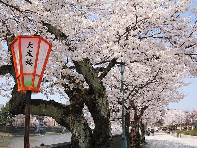 浅野川べりの桜並木