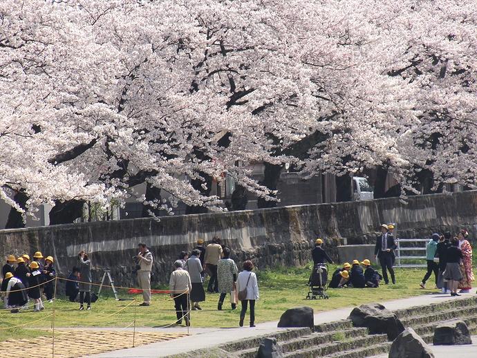 浅野川のお花見風景(金沢市)