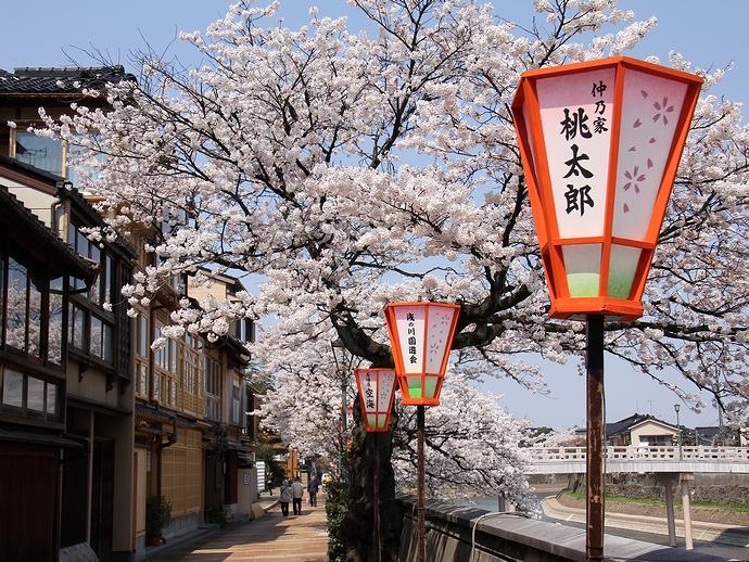 金沢・主計町茶屋街の桜並木