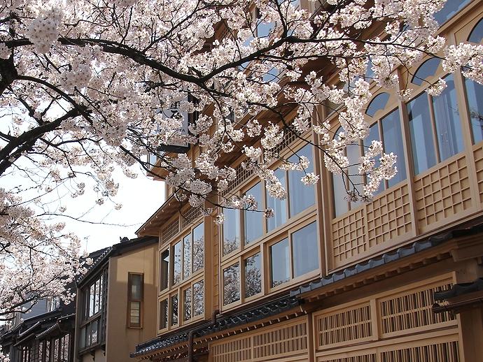 満開の桜と茶屋(金沢市主計町茶屋街にて)