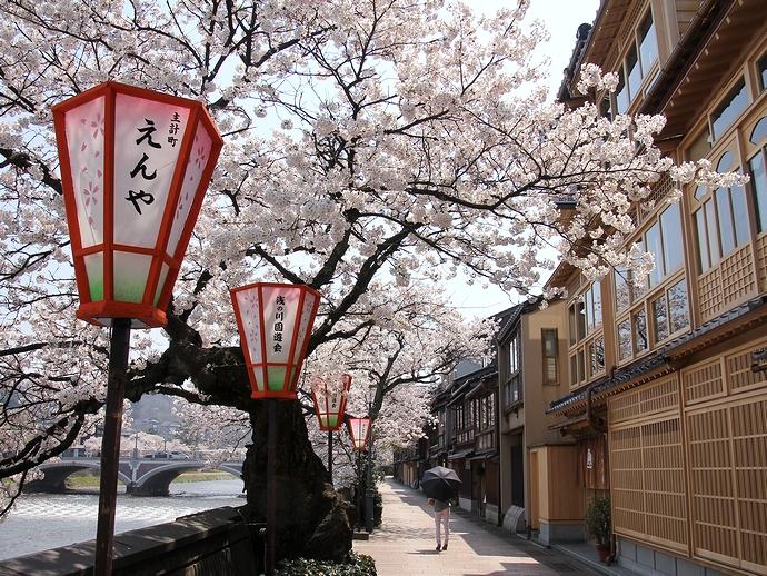 金沢・主計町茶屋街の桜風景