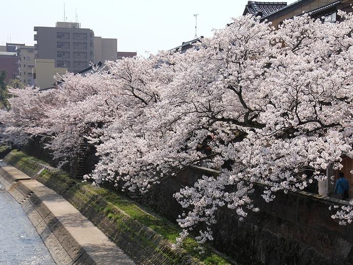 浅野川・主計町茶屋街の桜並木