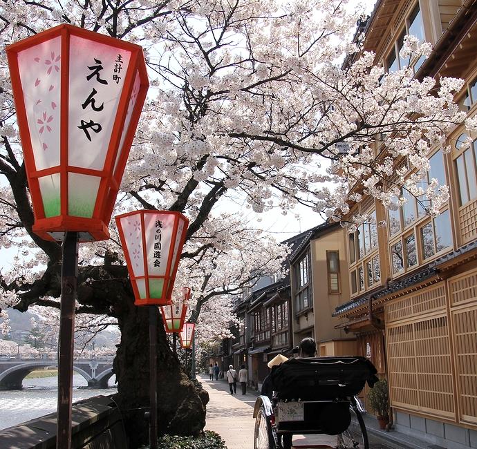 金沢の桜風景 主計町茶屋街の桜並木