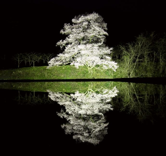 向野の江戸彼岸桜 ライトアップ