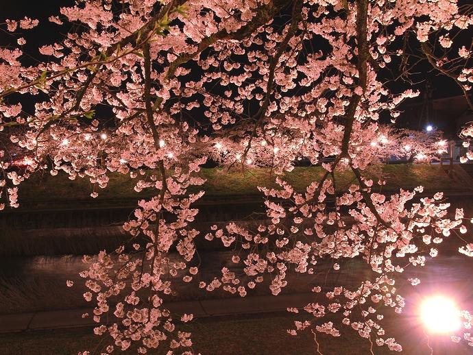 桜のカーテン 福光の千本桜