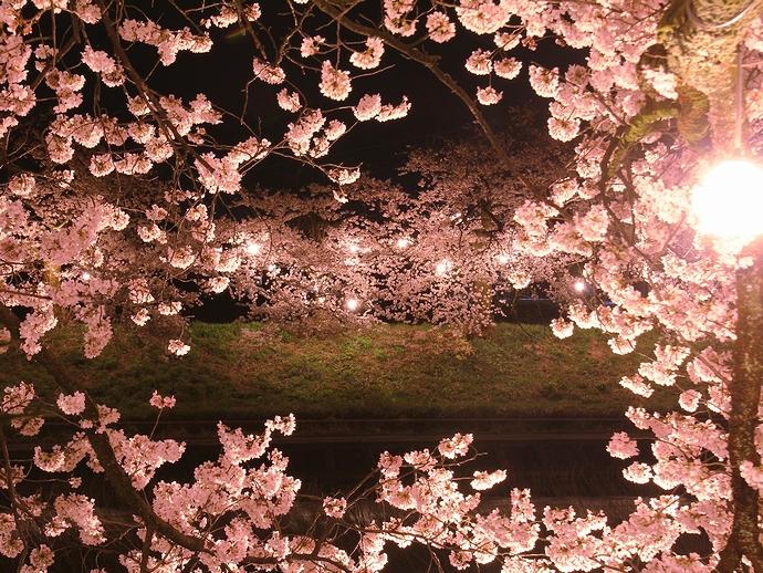 桜の窓 福光の千本桜