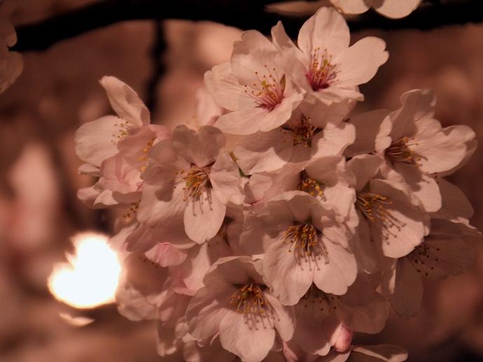 小矢部川河川敷の桜(南砺市福光にて)
