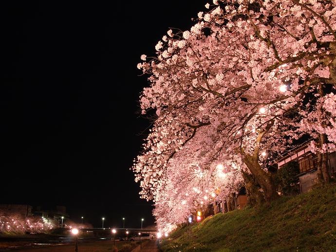 南砺市福光 小矢部川河川敷の桜並木