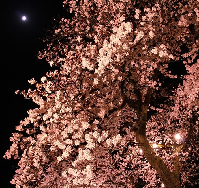 桜と月の競演(福光千本桜にて)